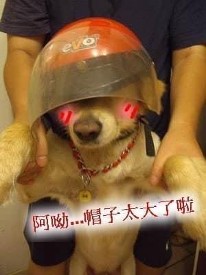 黃金獵犬Yuka 戴安全帽騎車兜風趣