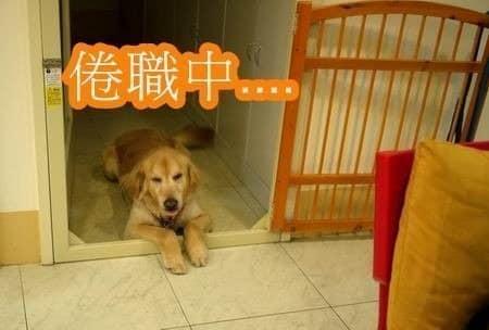 店狗yuka-最近很倦職喔