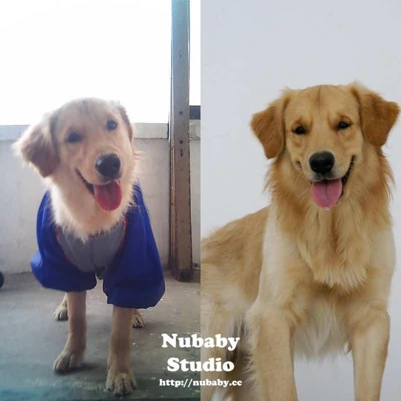 店狗 Yuka Nubaby的店狗 - 黃金獵犬Yuka
