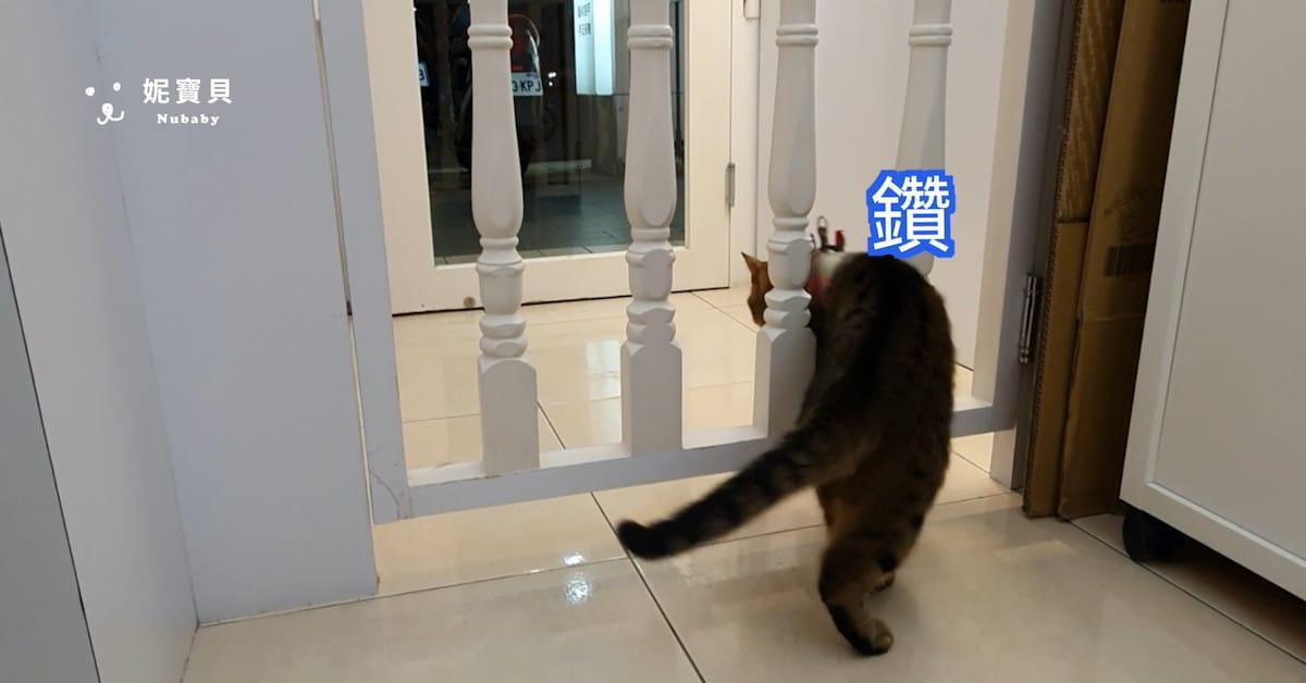 一日店貓 指甲店 客人的虎斑貓-霸王